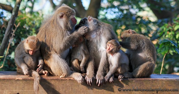 where to see the taiwanese macaque