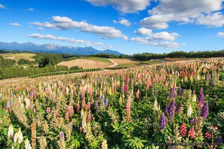 flowers burano hokkaido japan