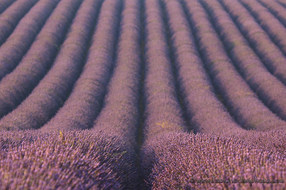big lavender field