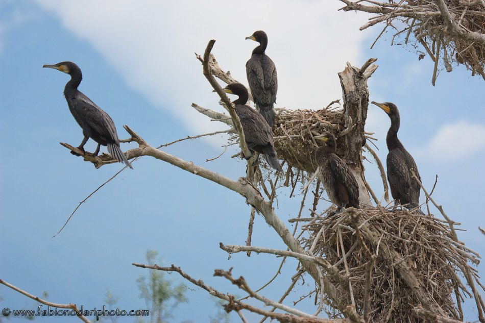black cormorants of lake kerkini