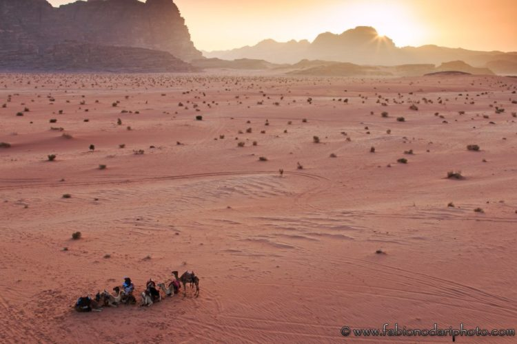 camels in the wadi rum in jordan at sunset