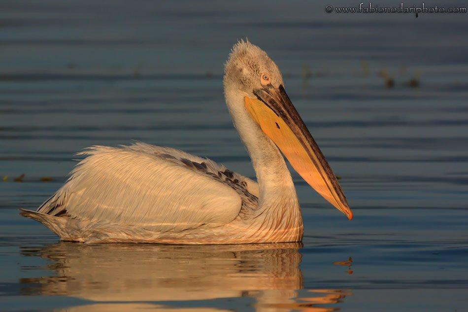 dalmatian pelican in kerkini greece