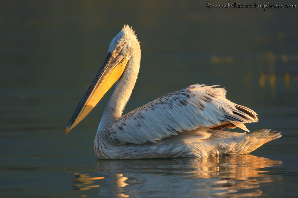 dalmatian pelican on lake kerkini in greece