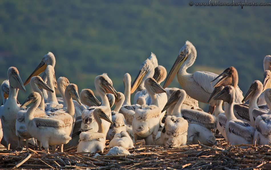 dalmatian pelicans on lake kerkini in greece