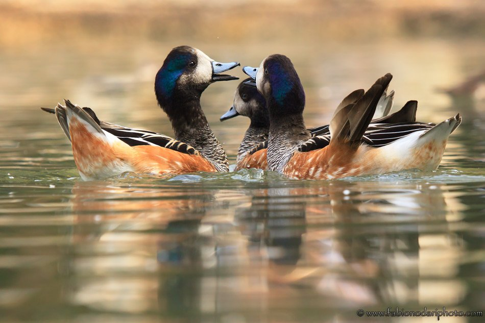 ducks racconigi in italy