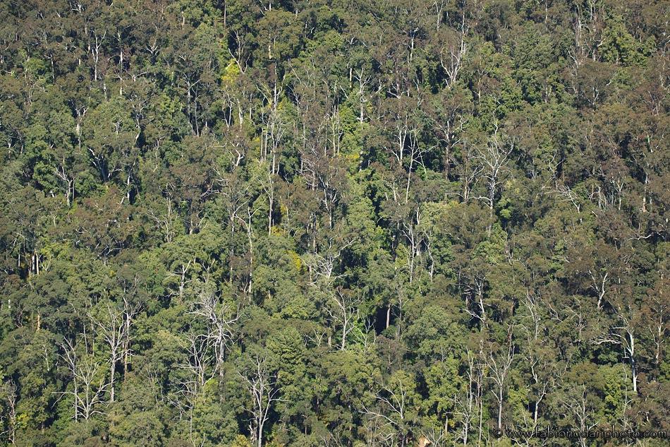 eucalyptus trees in blue mountains australia