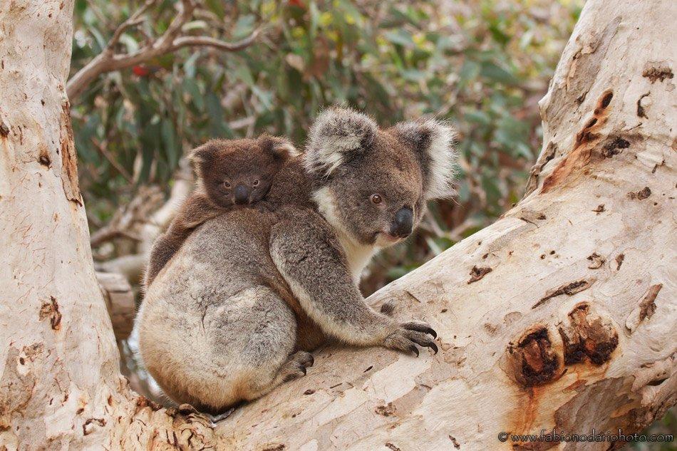 koala bear on eucalyptus tree in kangaroo island