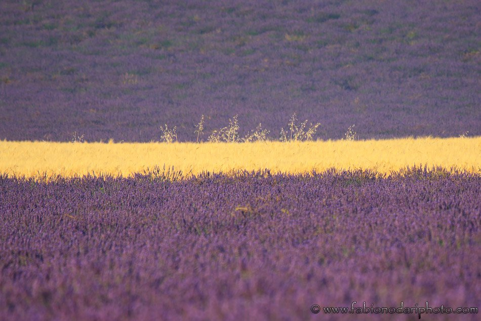 lavender field in valensole
