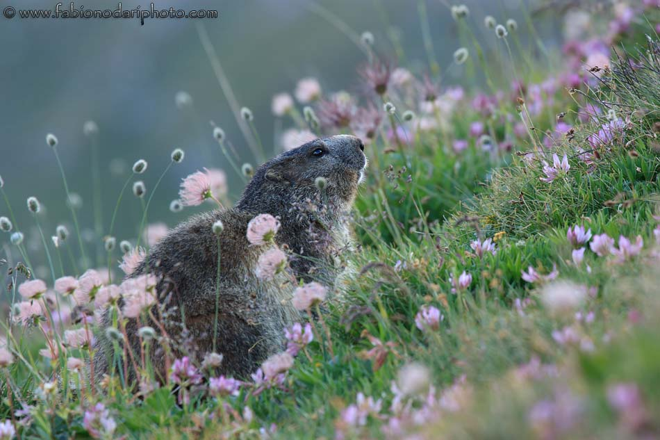 italian marmot