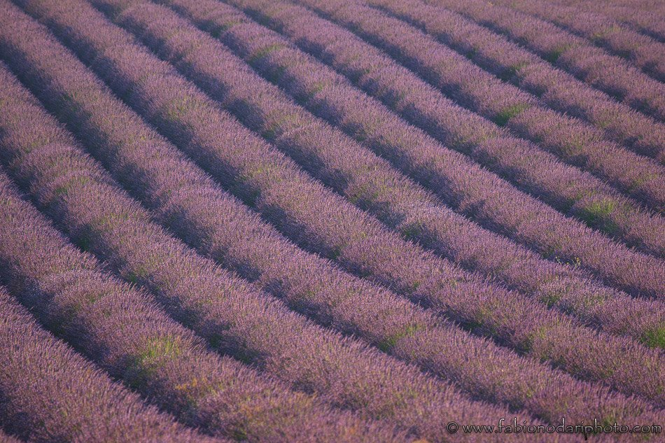 massive lavender field in valensole