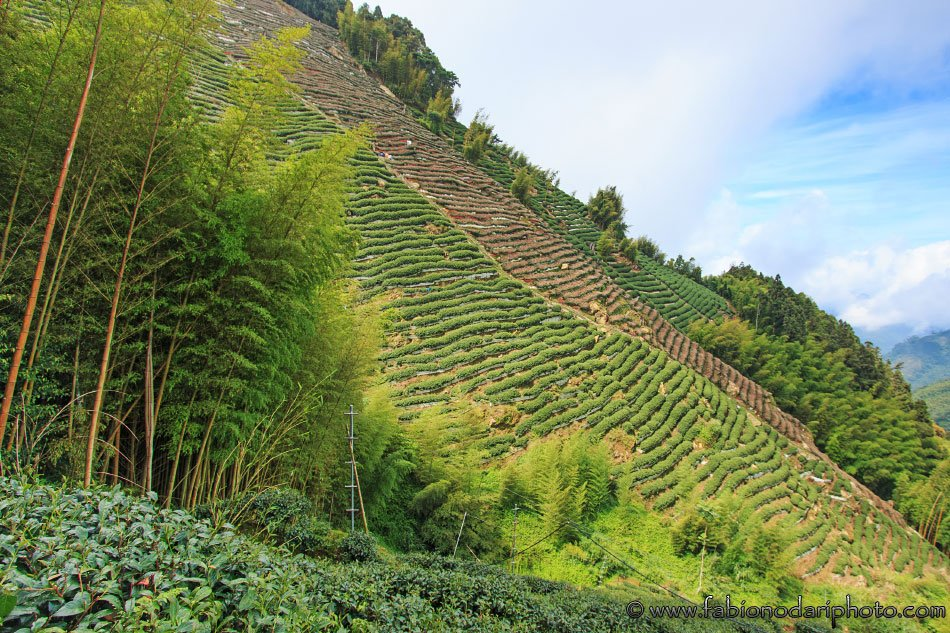 nantou taiwan tea plantations