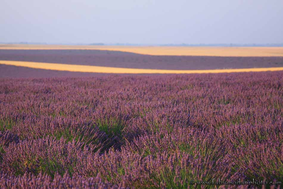 lavender filed in provence
