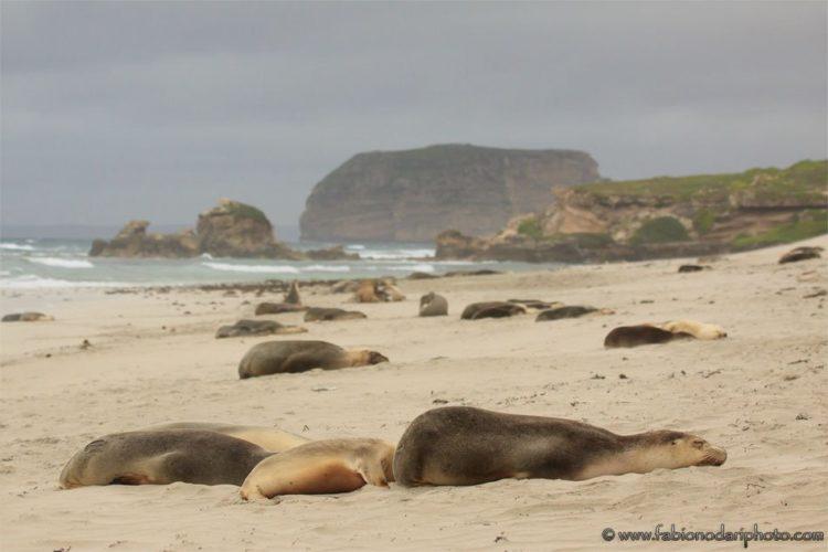 leoni marini in australia a kangaroo island