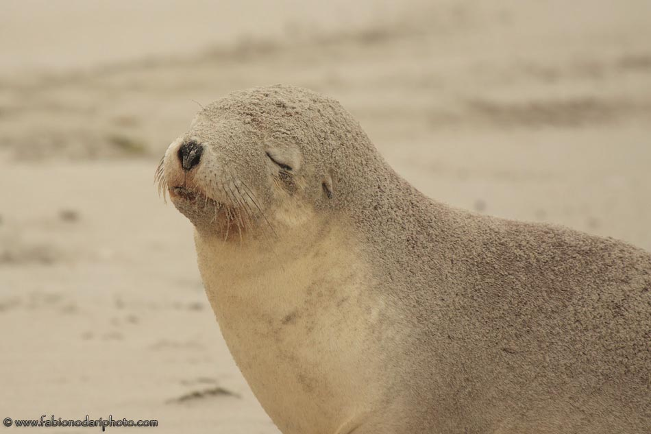 sea lions of kangaroo island