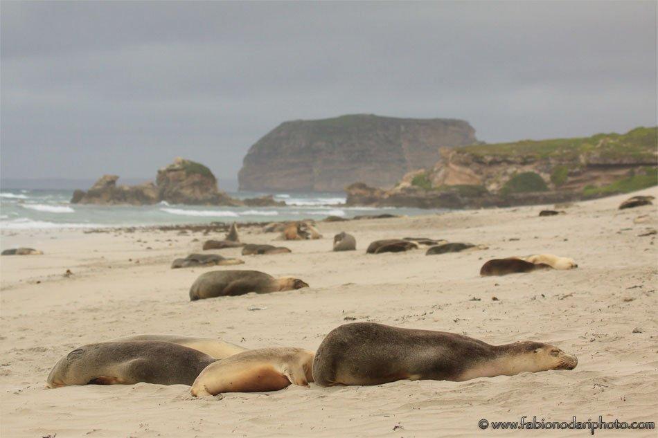 sea lions kangaroo island