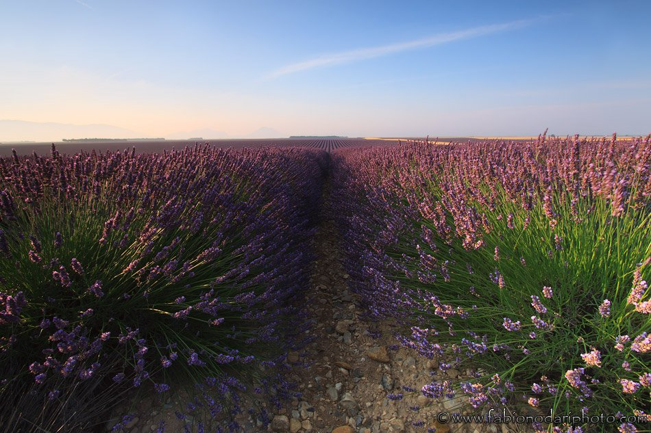 sunrise lavender field