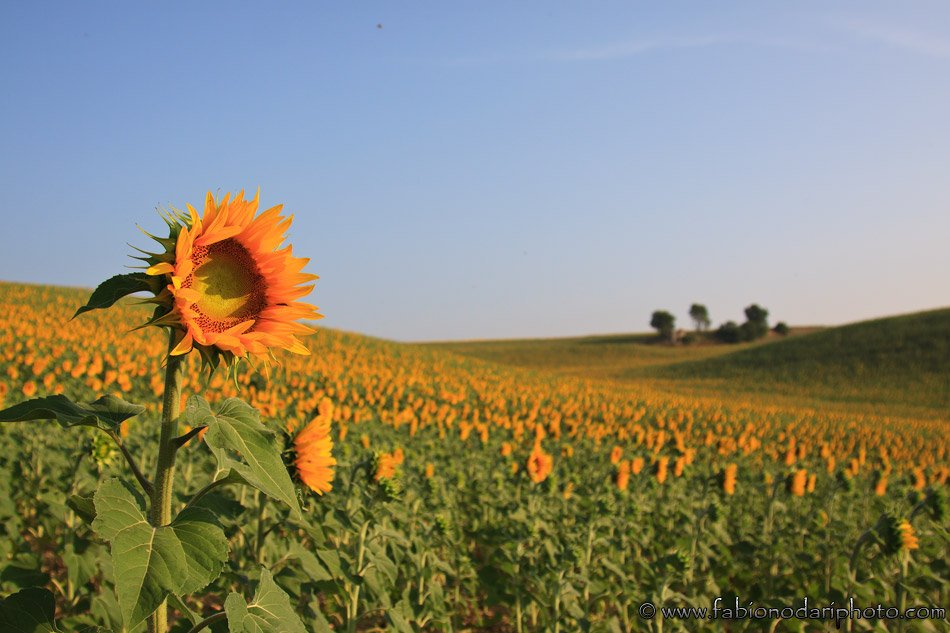 sunflower of valensole in provence