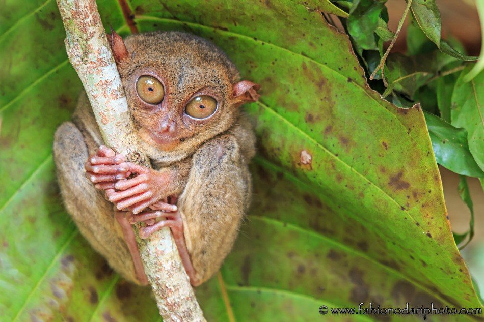 tarsier bohol phlippines