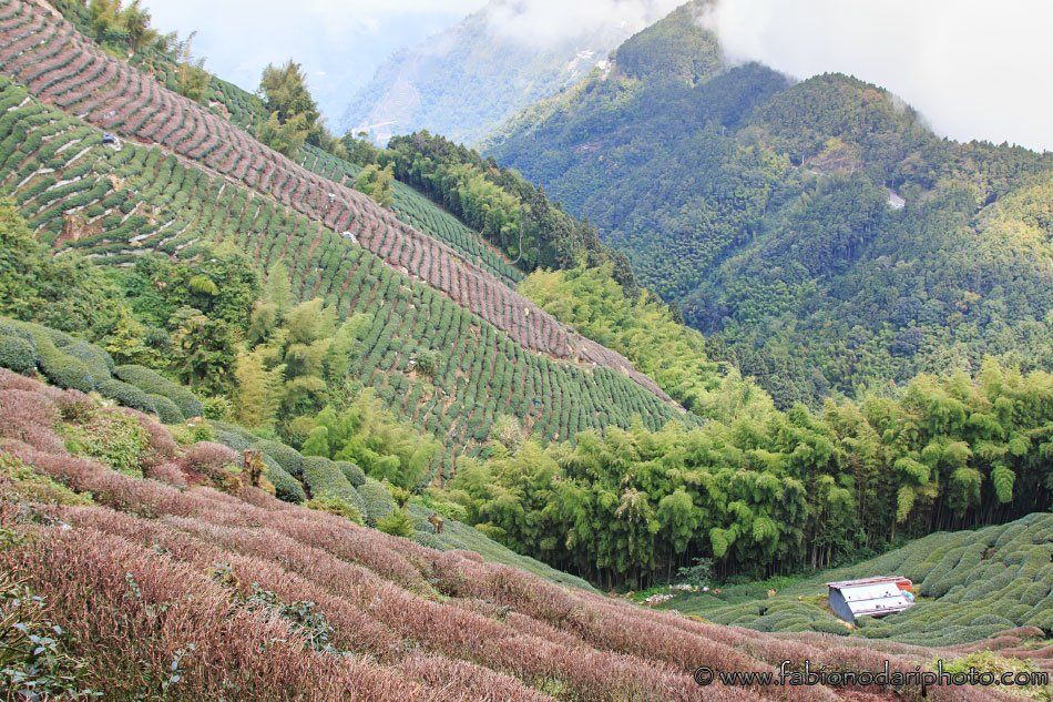 tea plantations in nantou taiwan