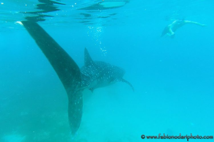 Whale shark in the Philippines Oslob