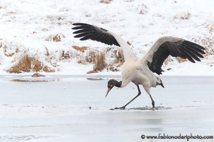 black necked crane china