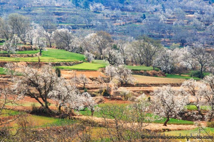 heqing pear trees bloom yunnan