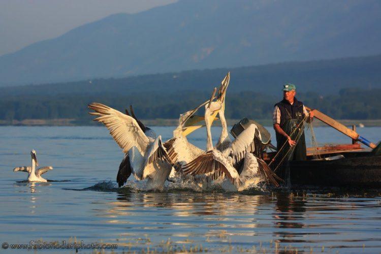 pellicani nel lago kerkini in grecia