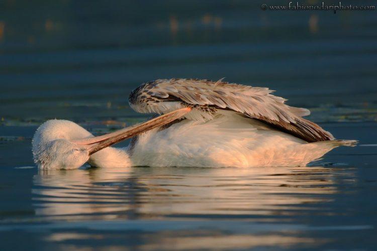 pellicano riccio nel lago kerkini al tramonto
