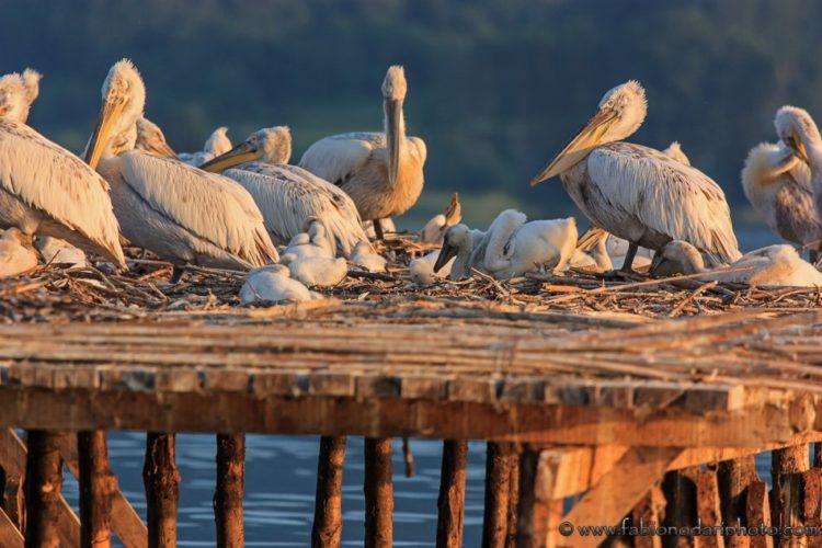 pellicano riccio nel lago kerkini