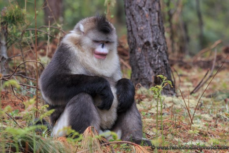 maschio di yunnan black snub nosed monkey