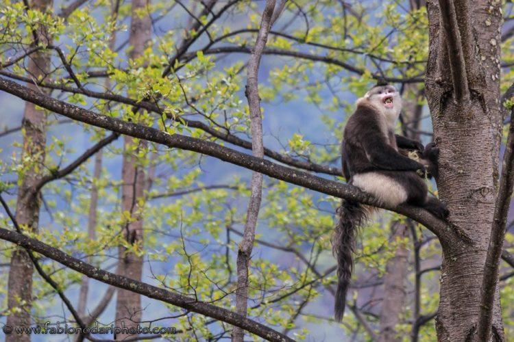 Black Snub-Nosed Monkey rinopiteco bruno