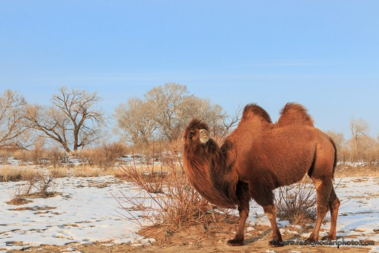 bactrian camel xinjiang china