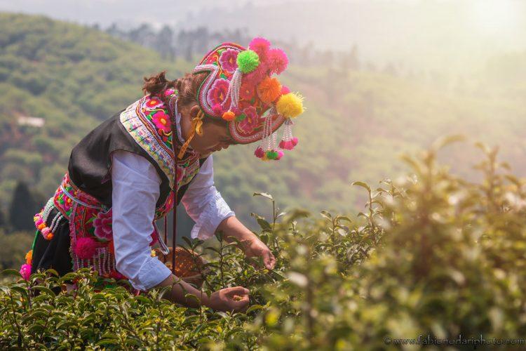 donna della minoranza yi che raccogli le foglie del te
