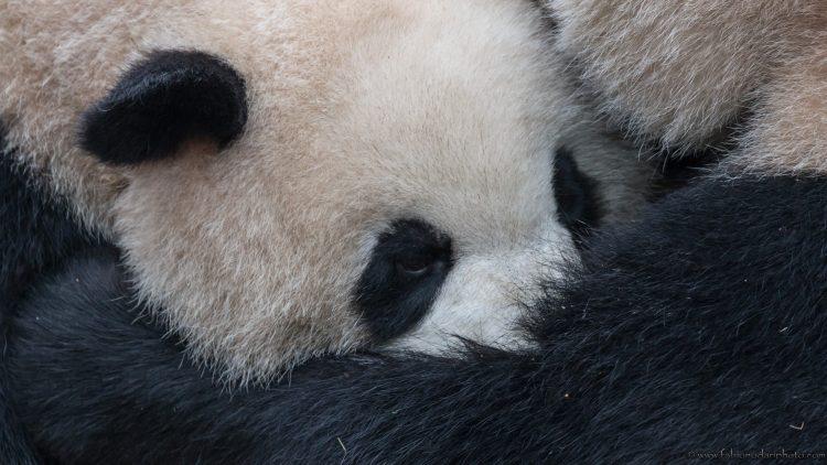centro di ricerca sui panda a chengdu