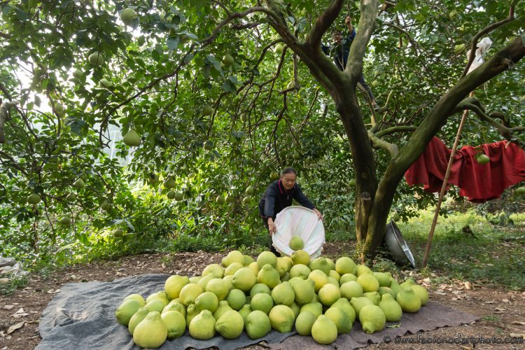 pomelos harvesting in guanxi guilin