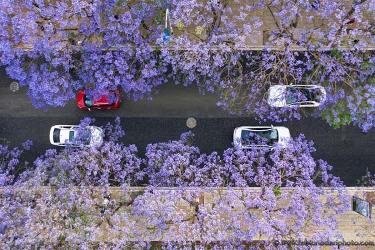 jacaranda bloom yunnan