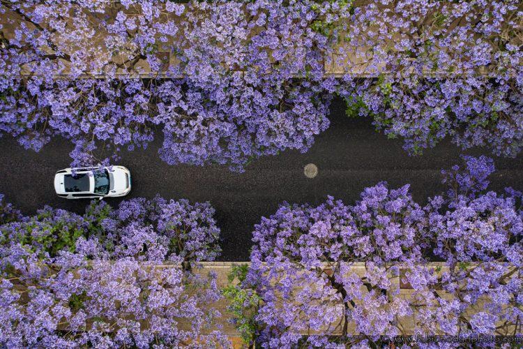 jacaranda blossom yunnan