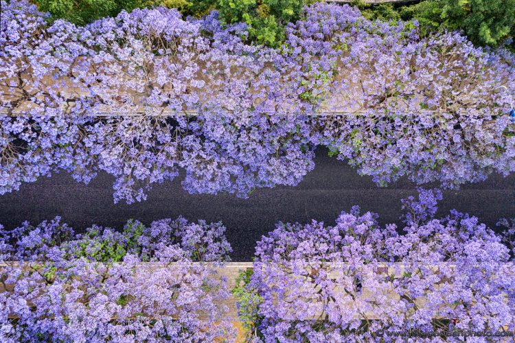 aerial view of jacaranda