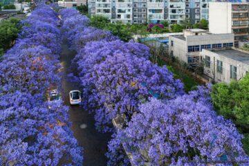 jacarand blossom yunnan kunming