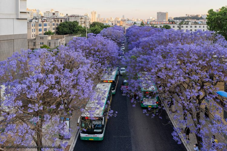 bus aerial view of jacaranda in kunming china yunnan