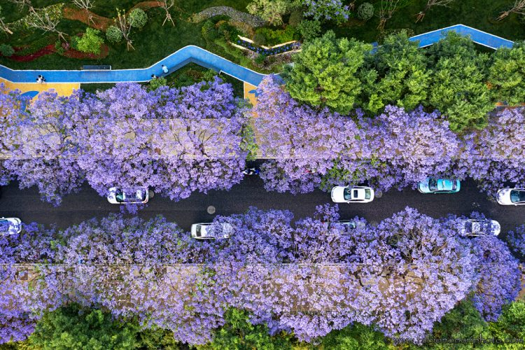 aerial view of jacaranda in kunming china yunnan