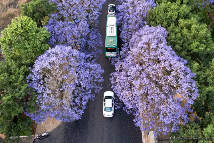 aerial view of jacaranda in kunming china yunnan bus